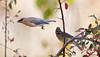 Horizontal Waxwing (Rick Derevan) Tags: atascadero california us bird waxwing cedarwaxwing toyon bombycillacedorum berry