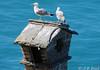 Les gardiens du château de Chillon (jean-daniel david) Tags: oiseau oiseaudeau eau cheminée goeland duo lac lacléman suisse suisseromande château bleu