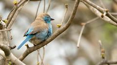 Blue Waxbill (Rez Mole) Tags: blue waxbill uraeginthusangolensis