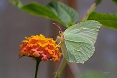 Borboleta (Carlos Santos - Alapraia) Tags: ngc ourplanet animalplanet canon nature natureza wonderfulworld highqualityanimals unlimitedphotos fantasticnature borboleta butterfly