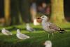 Pontische Meeuw - Larus cachinans - Caspian Gull (merijnloeve) Tags: pontische meeuw larus cachinans caspian gull dordrecht nieuw krispijn zuidholland gulls meeuwen 1kj 1cy first cycle