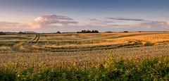 Dorset fields (Joe Dunckley) Tags: blackmorevale britain british dorset england english greatbritain northdorset uk unitedkingdom agriculture arable crop farm farming field summer sunny