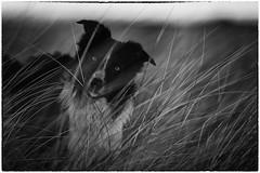 A Grass Imp (JJFET) Tags: border collie dog sheepdog