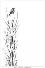 From a different angle (Stefan Gerrits aka vanbikkel) Tags: finland helsinki canon5dmarkiii canonef500mmf4liiusm nature wildlife vanbikkel bird birds uil pöllö northernhawkowl surniaulula hiiripöllö sperweruil rain minimal