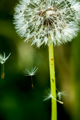 ..just dare to.. (dawn.tranter) Tags: dawntranter seeds closeup dandelion green plant herb