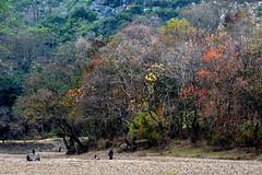 Lijiang river 灕江 烏桕灘 (MelindaChan ^..^) Tags: guilin china 桂林 cows life chanmelmel mel melinda melindachan tallowtrees 烏桕灘 烏桕 tree plant beach 灕江 river lijiang