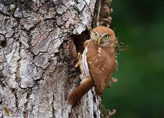Ferruginous Pygmy-Owl (fernaabs) Tags: ferruginous pygmyowl glaucidium brasilianum cuatroojos majafierro mochuelocomún strigiformes strigidae aves fernaabs burgalin avesdecostarica