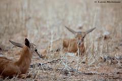 Hiding place (leendert3) Tags: leonmolenaar wildlife nature springbok kgalagaditransfrontierpark antelope mammals canon7d southafrica sprinbokcalve ngc coth5 npc