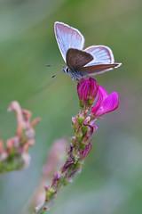 Azuré du Sainfoin, Sablé du Sainfoin (-Dop-) Tags: lycaenidae termignon vanoise france agrodiaetusdamon