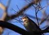 """ thrush"" in the spot light (yasushiinanaga) Tags: japan canoneos6d sigma150600mm bird natuer outside light"