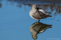 Short-billed Dowitcher © (Rodolfo Quinio) Tags: shortbilleddowitcher nikond500 tamron150600mm donedwardssfbaynwr sanjoseca santaclaracounty bird shorebird wader aquaticbird waterbird water pond wetlands wildlife nature 200