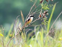 20171214-EM124111 (shutterblades) Tags: birds longtailedshrike olympusem1mkii olympusmzuiko300mmf4pro14tc seletaraerospacepark seletarwestlink
