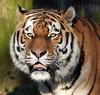 amurtiger Ouwehands BB2A4362 (j.a.kok) Tags: tijger tiger amurtiger amoertijger pantheratigrisaltaica siberischetijger siberiantiger ouwehands kat cat predator mammal animal asia azie zoogdier dier taymir
