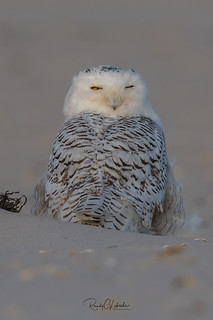 Snowy Owls of New Jersey | 2017 - 29 [EXPLORED]