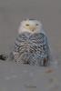 Snowy Owls of New Jersey | 2017 - 29 [EXPLORED] (RGL_Photography) Tags: birding birds birdsofprey birdwatching buboscandiacus gardenstate ibsp islandbeachstatepark jerseyshore mothernature nature newjersey nikonafs600mmf4gedvr nikond500 ornithology owls raptors snowyowl us unitedstates wildlife wildlifephotography