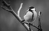 Great tit (Lt_Dan) Tags: bird greattit alpago belluno veneto italia blackandwhite bw nature natureshot natura canon600d canon55250mmf456isii 7dwf