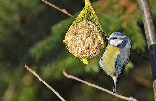 One of my feeders. Lunch for Blue Tit and other birds. Winter, Finland