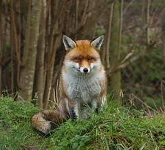 Handsome Ted (saundersfay) Tags: fox red squirrel scottish wildcats otter wildlife animals british polecat