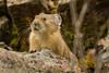 Up scope (ChicagoBob46) Tags: pika yellowstone yellowstonenationalpark nature wildlife coth5 ngc npc