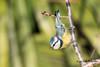 Renversant ! (Jacques GUILLE) Tags: labege mésangebleue oiseau 31 cyanistescaeruleus eurasianbluetit hautegaronne paridés passériformes bird