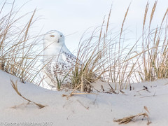 Snowy Owl (gvall66) Tags: b700 ibsp islandbeachstatepark nj nikon owl rba snowyowl