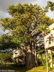 171208 Honolulu-02.jpg (Bruce Batten) Tags: shadows locations people trips occasions trees subjects campuses buildings uh plants businessresearchtrips usa hawaii honolulu unitedstates us