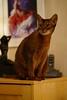 Look out! (DizzieMizzieLizzie) Tags: abyssinian aby beautiful wonderful lizzie dizziemizzielizzie portrait cat chats feline gato gatto katt katze katzen kot meow pisica sony animal pet 2017 cute yellow neko macska kedi 猫 kočka kissa γάτα köttur kucing kaķis katė кошка mačka gatos kitteh chat ネコ beauty a6500 zeiss 55mm ilce6500 ilce sel55f18z sonnar awesome digital golden style sport