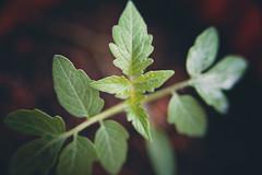 (King The Man) Tags: tomato green macro plant homegarden garden home
