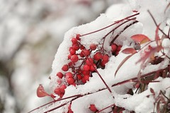 Nandina domestica (valeriaconti136) Tags: neve nandinadomestica macro bacche baccherosse lombardia canoneos80d