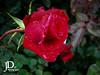 Rose-13 (johndyble) Tags: rose red flower redrose waterdrips waterdrops droplets gardenrose hybridrose rosebuds green summerflower
