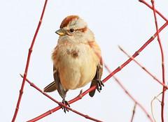 American tree sparrow at Cardinal Marsh IA 854A2123 (lreis_naturalist) Tags: american tree sparrow cardinal marsh winneshiek county iowa larry reis