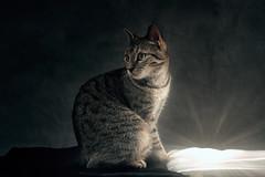 'Gift' (Jonathan Casey) Tags: christmas light tabby jonathan casey jonathancaseyphotography nikon d810 sigma 50mm f14 art