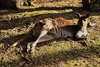 Chilling (Uhlyssa17) Tags: kangaroo australia myhome downunder animals nativeanimals wildlife victoria melbourne mammal