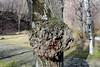 Boule verdissante (ZUHMHA) Tags: bulgarie bulgaria hiver winter shipka mousse tronc bois wood tree campagne campain matière texture macro