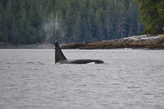 Killerwhale (Severin Korfhage) Tags: alaska whale killerwhale orca usa wilderness wildlife nature nikon d5000 pacific fjord tongass southeast