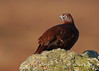 Red Grouse male (Martial2010) Tags: red grouse angus glen canon