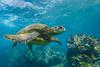 turtle8Nov19-17 (divindk) Tags: cheloniamydas hawaii hawaiianislands honu maui underwater diverdoug endangeredspecies greenseaturtle marine ocean reef sea seaturtle turtle underwaterphotography
