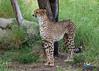 Cheetah ('Meeze.') Tags: cheetah leopard lorikeets lovebirds cheetahrun desert life cactus africa jaguar palmsprings california