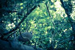 Fowl In The Bush (WarrenRaePhotography) Tags: bird 5dmarkiv warrenrae guineafowl canon nature roodepoort gauteng southafrica za