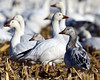 DSC_2427=1SnowGeese (laurie.mccarty) Tags: bird winter outdoor wildlife landscape snowgeese nature nikon animal