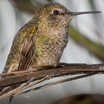Hummingbird on the tree branch thumbnail