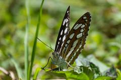Common Sergeant (Athyma perius)  Facing (Barbara Evans 7) Tags: common sergeant athyma perius butterfly kohima ne india barbara evans7