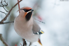 Waxwing close-up (uusija) Tags: bombycillagarrulus waxwing bird linnut luonto nature tilhi