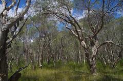 Melaleuca rhaphiophylla, Jandakot Regional Park, near Perth, WA, 25/10/17 (Russell Cumming) Tags: plant melaleuca melaleucarhaphiophylla myrtaceae jandakotregionalpark perth westernaustralia
