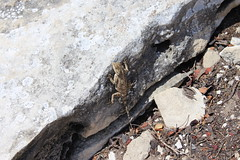Lizard (Rckr88) Tags: lizard lizards animals animal reptiles reptile robbergnaturereserve plettenbergbay southafrica robberg nature reserve plettenberg bay south africa westerncape naturalworld outdoors travel travelling