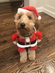 Liesel's sweet Ivy is ready for Santa Duty!