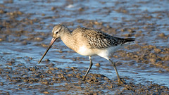 Bar-tailed Godwit (NickWakeling) Tags: bartailedgodwit thornhamharbour thornham canoneos7dmarkii sigma150600mmf563dgoshsmcontemporary