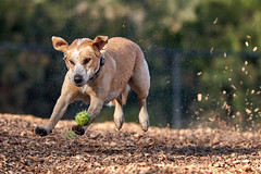 DSC01915 (Sebastopol Dog Park) Tags: a7rmk3 a7r3 samyang135mmf2 action ball catch manualfocus openaperture crop dog dof sebastopoldogpark newyearsday 2018 leap arlendean northerncalifornia