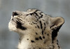 Star Gazer (greekgal.esm) Tags: snowleopard pantherauncia leopard bigcat cat feline animal mammal carnivore cub babyanimal marai losangeleszoo lazoo losangeles griffithpark sony rx10m3 rx10iii