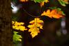 Blattgold (grafenhans) Tags: sony alpha a68 alpha68 slt 68 tamron 5663200400 bokeh laub herbst farben color ahorn wald grafenwald bottrop nrw natur gegenlicht
